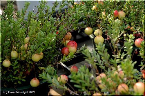 長い蔓を伸ばして、小さな丸い実を付けるクランベリー