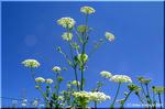 傘を拡げたような花を咲かせるアンジェリカ(シシウド属)