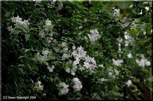 静かな夏の花 ソラナム・ジャスミノイデス(ツルハナナス)