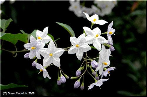 >静かな夏の花 ソラナム・ジャスミノイデス(ツルハナナス)