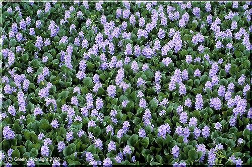 ホテイアオイ(布袋葵)は美しい花を咲かせる侵略的外来種?
