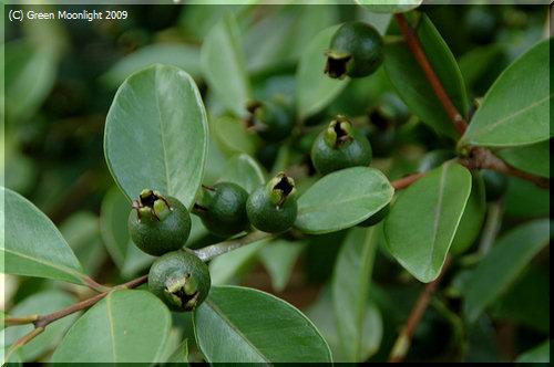 熱帯の健康果実グアバ 和名ではフトモモ科のバンジロウ