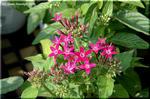 五芒星のペンタス 濃い葉が鮮やかな花色を惹きたてる