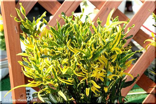 輝く観葉植物 クロトン・キラセン(キンセンコウ金仙黄)