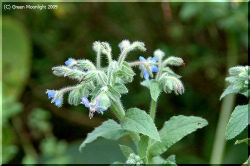 剛毛の青い星ボリジ 芳香が良く食用になり薬効もある