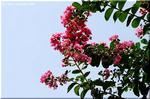 明るいサルスベリ(百日紅)の花は夏の青空に良く似合う