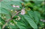 夏におとなしい花をひそかに咲かせるコムラサキシキブ