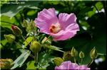 芙蓉の大きな花は、女性的に優雅に、短く咲くのですね