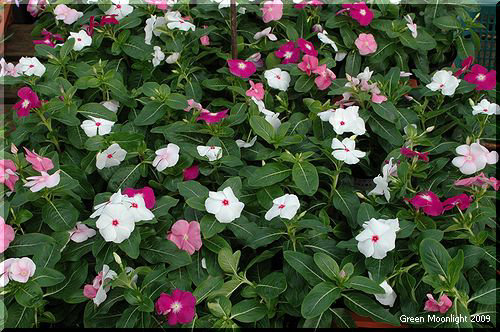 ニチニチソウはカラフルで変化の富んだ園芸品種