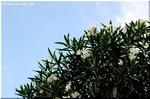 瑞々しい緑色と強健さで好まれる街路樹 キョウチクトウ