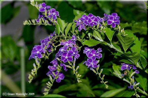 濃紫色に白覆輪の華麗な花が咲くデュランタ「宝塚」