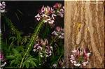 風蝶草 花火が炸裂するように咲く美しいクレオメ
