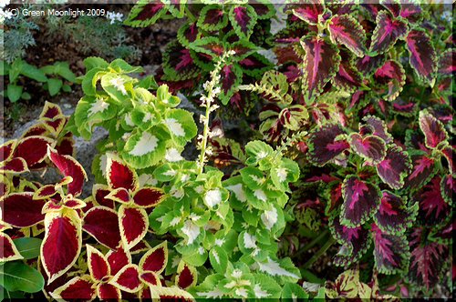 一年を通して楽しむことができる観葉植物コリウス