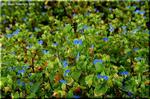 独特な青色に染まる小さな花を一面に咲かせる露草
