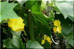 「黄瓜」と書くのに濃緑色のキュウリは流通量世界一