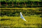 稲穂が垂れ、白鷺が飛ぶけれど、変わりゆく田園の姿