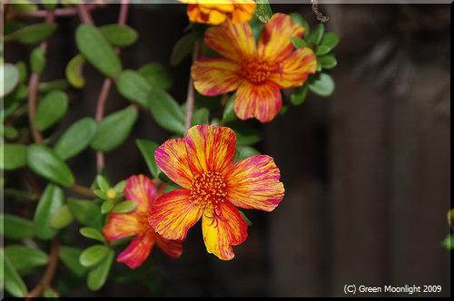 ポーチュラカは地味な雑草を祖先に持つ丈夫な園芸種