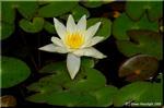 水の妖精ニンフの名を持つスイレンの一種 ヒツジグサ