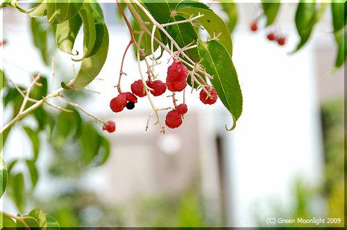 秋、瞬間的に目立つゴンズイ(権萃)の赤い実と紫の種子