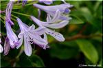 愛の花「アガパンサス」は秋も楽しむことができる