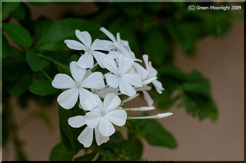 とても嬉しそうに咲くプルンバゴは南アフリカ生まれ