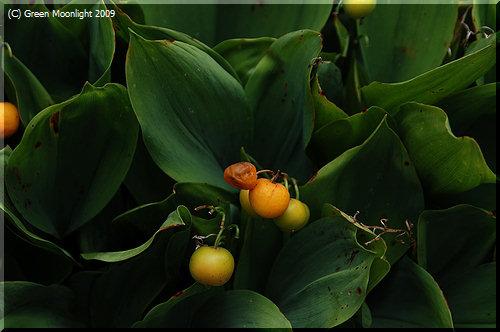 ご近所の庭先ではスズランの果実が色づいていました