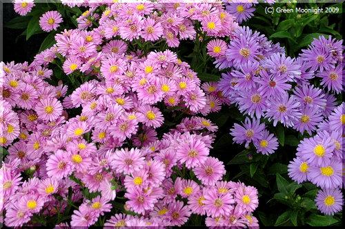 「友禅菊」という古風な名前の菊は北米生まれで欧州育ち