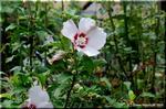 秋になっても、まだまだ花を咲かせているムクゲ(木槿)