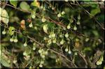 大量の白い果実から焦茶色の種子がこぼれるエゴノキ
