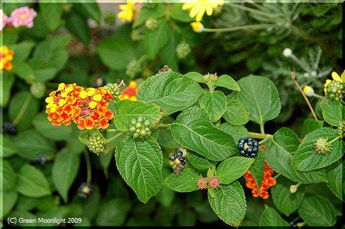 種子部分だけに毒がある賢い果実を持つランタナ