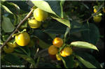 柿の実の表面に見える白い粉の正体は植物油脂?