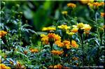 マリーゴールド 花びら由来のルテインは健康志向の色素
