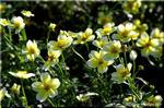 コスモスと入れ替わりで咲き出すウインター・コスモス