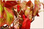 真っ赤に輝くハナミズキの果実が秋の街路を飾る