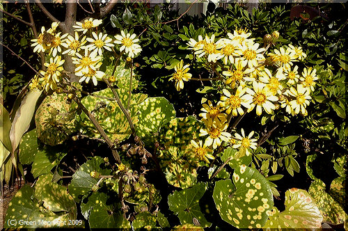 艶やかな葉に黄金色の花 ツワブキ(石蕗)の季節です