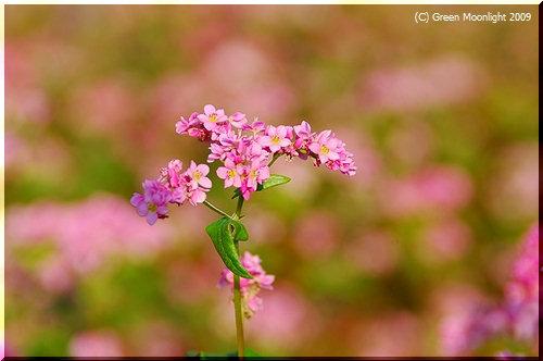 美しい花から付加価値の高い蜂蜜 ソバ「高嶺ルビー」