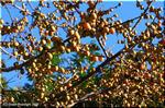 眺めて楽しいマメガキ(豆柿)は果物で薬剤で染料です