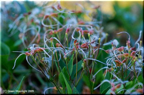 白いヒゲをまとった種子が特徴 センニンソウ(仙人草)