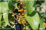 秋に褐色の実を付けるヘクソカズラ(サオトメカズラ)