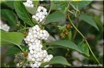 シロシキブ(白式部)とシロミノコムラサキ(白実の小紫)