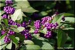 雅な雰囲気を醸し出して魅力的なコムラサキ(小紫)