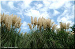 大空に向かうパンパスグラス 大きな花穂が愛くるしい