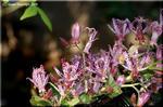 日本人の心の機微に触れる晩秋の花 ホトトギス(杜鵑草)
