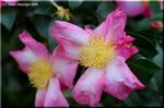 冬の使者サザンカ(山茶花)の花が咲き始めています