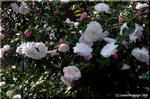 散歩中、美しいサザンカ(山茶花)に出逢いました