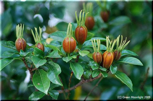 クチナシのユニークな果実は茶褐色になって出世します