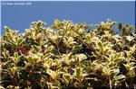 堅くて棘のある葉が柔らかい光を放つシマヒイラギ