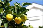 冬に似合う柚子(ゆず)は香り高い和テイストの定番