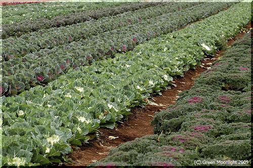 畑でキャベツと全く同じように育てられるハボタン