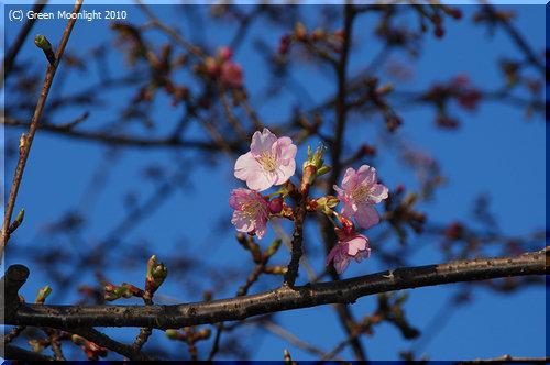 子孫が各地に根付こうとしているカワヅザクラ(河津桜)